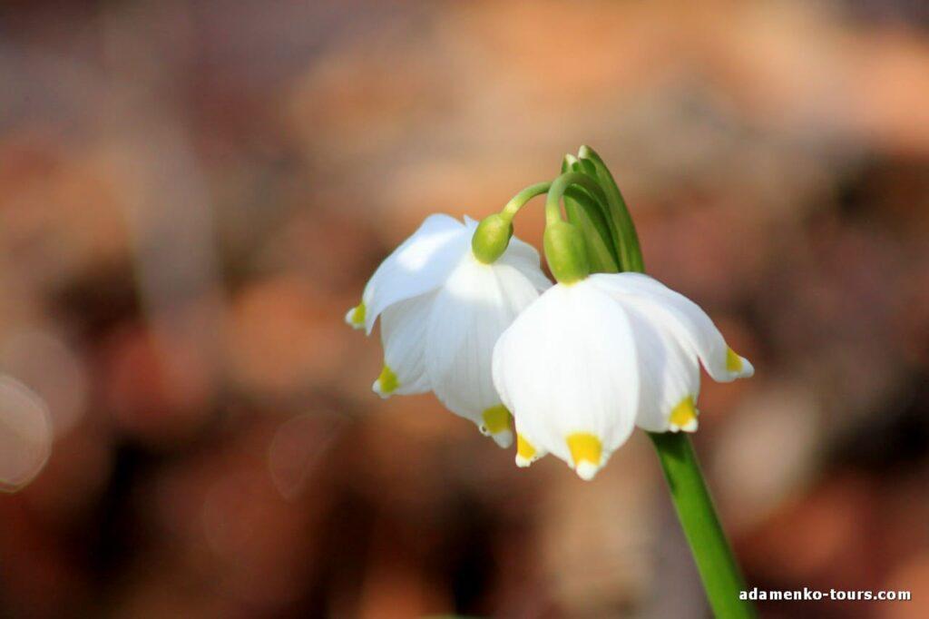 Белоцветы Закарпатья
