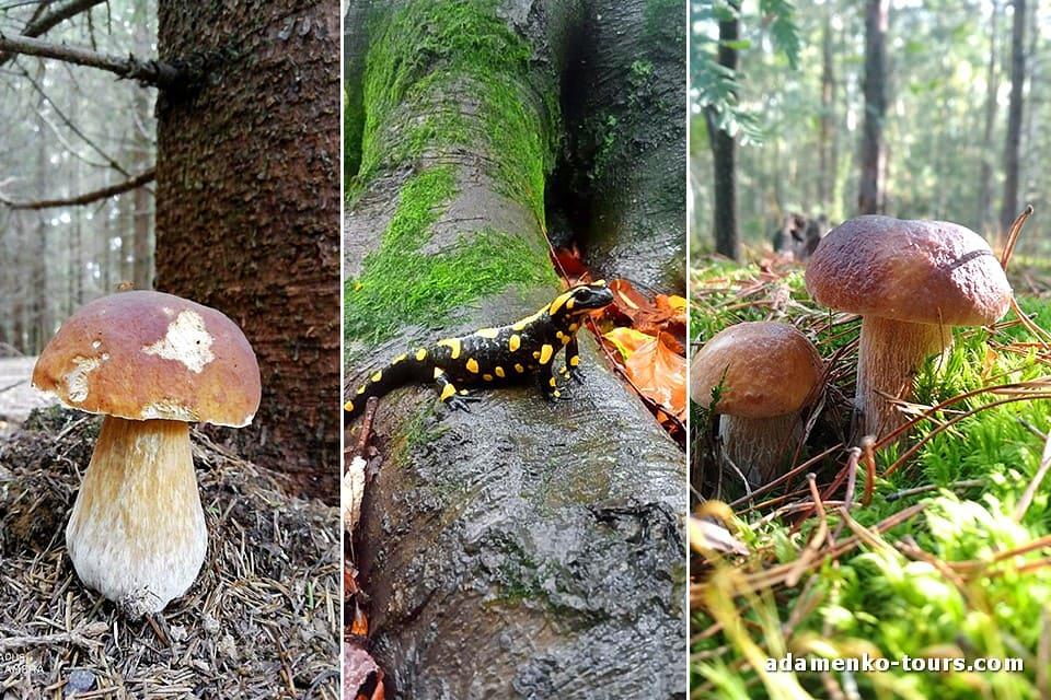 Белые грибы Закарпатья