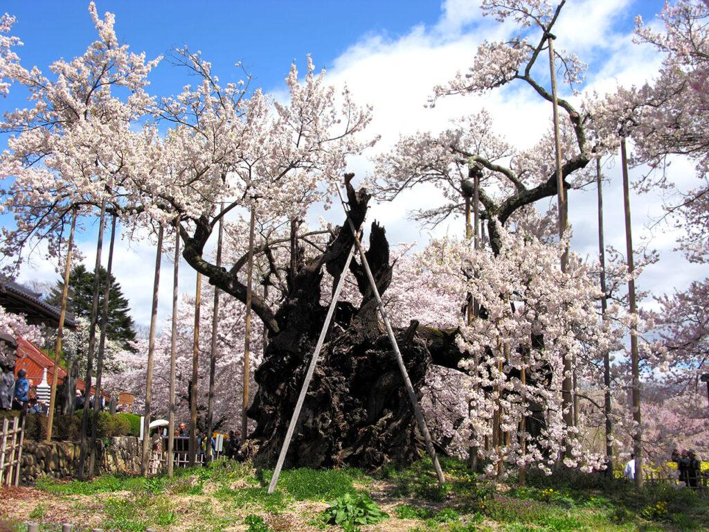 Дзіндай-закура в місті Хокуто. Найстаріша сакура світу.