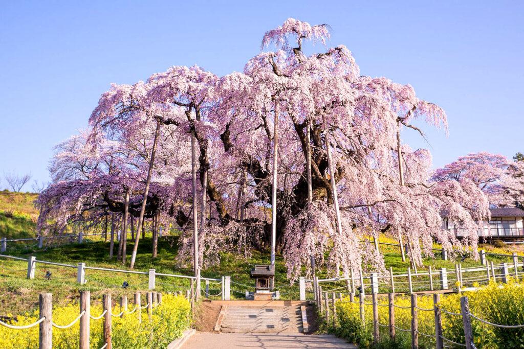 Такідзакура, «Сакура-водоспад» в селищі Міхару. Найстаріші сакури світу.